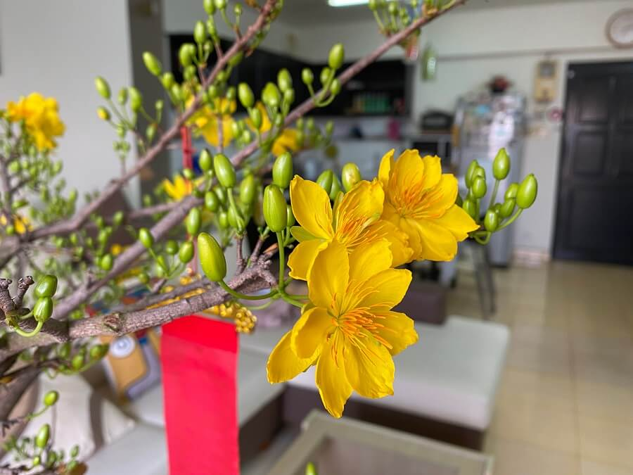 hoa mai nở