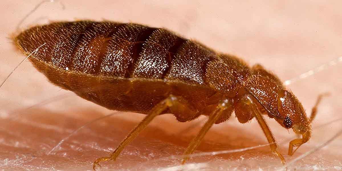 tránh bị bọ chét cắn