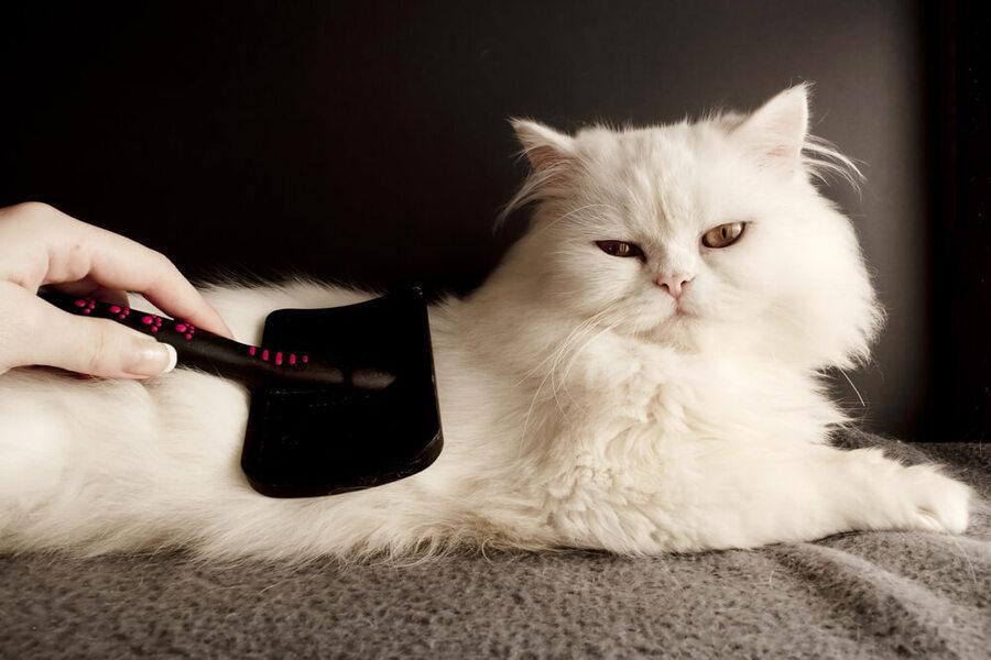 chải lông cho mèo