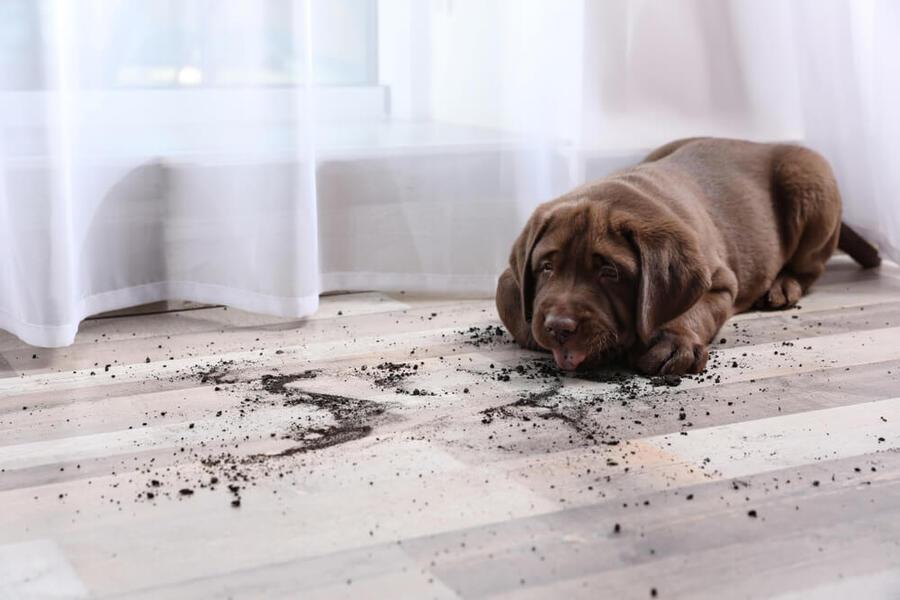 làm sạch sàn nhà để khử mùi hôi chó mèo