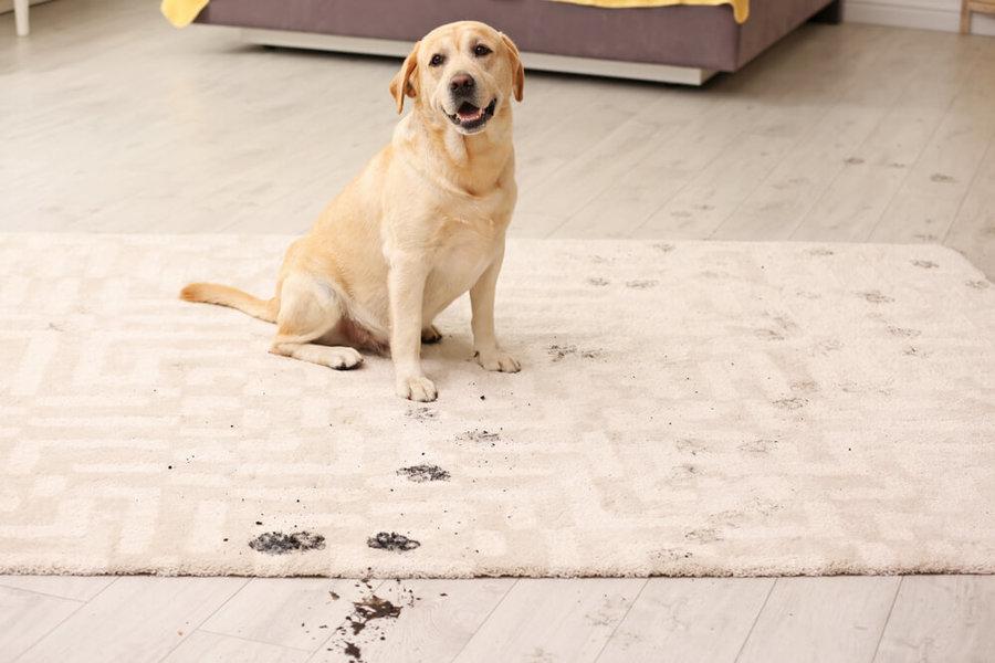 làm sạch thảm để khử mùi hôi chó mèo