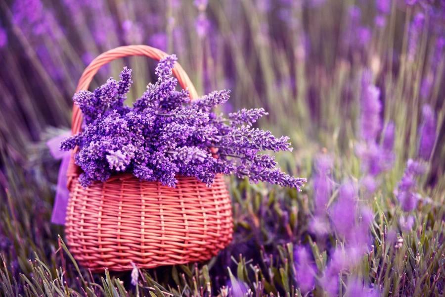 Hoa oải hương có nhiều công dụng