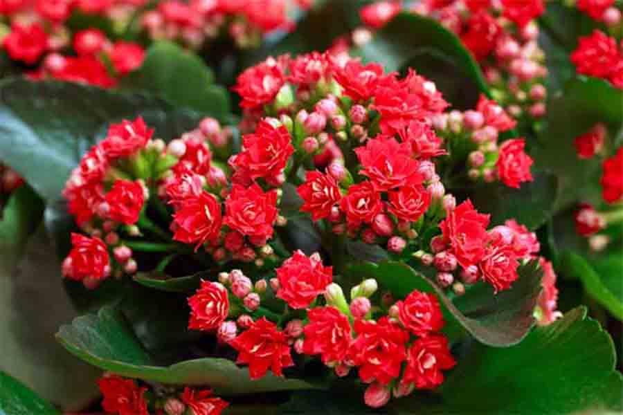 Chăm sóc tốt hoa sống đời sẽ khoe sắc rực rỡ