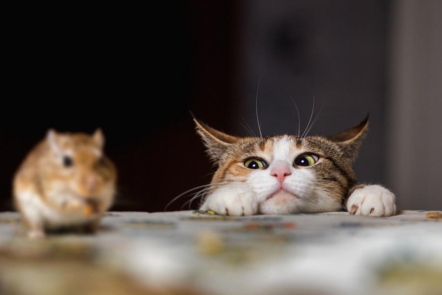 Nuôi mèo trong nhà giúp đuổi chuột hiệu quả