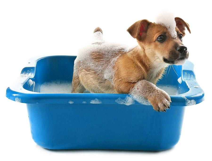 Tắm cho chó bằng nước muối pha loãng giúp đuổi bọ chét