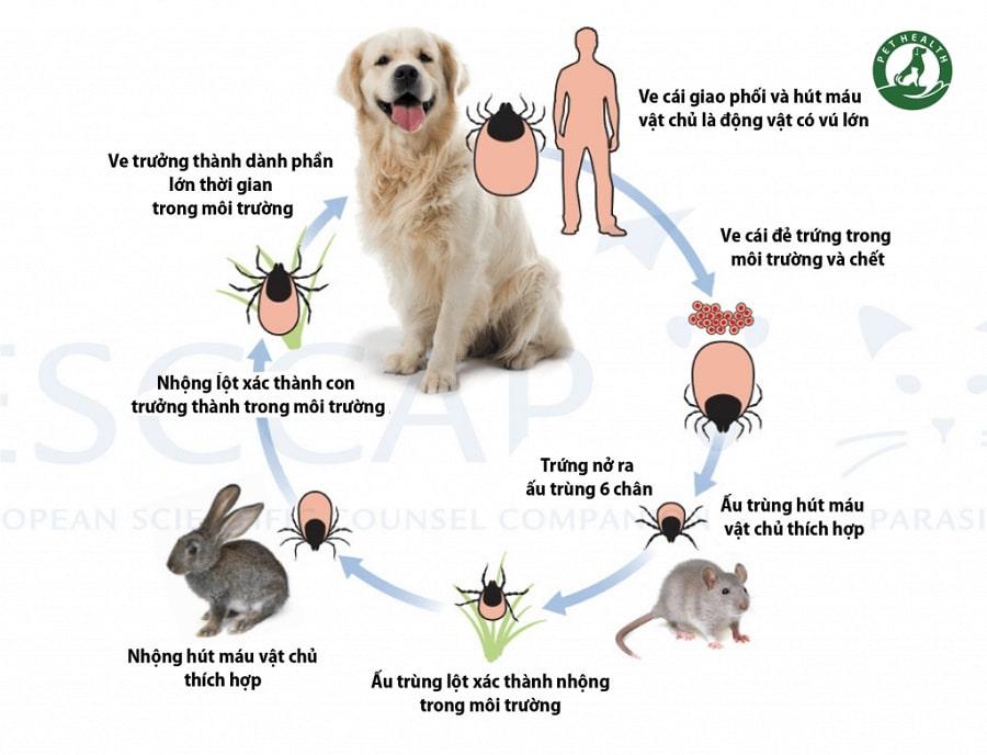 vòng đời của ve chó