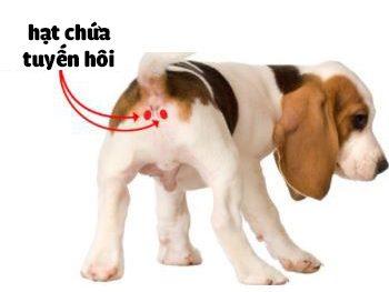 Vị trí tuyến mồ hôi ở chó