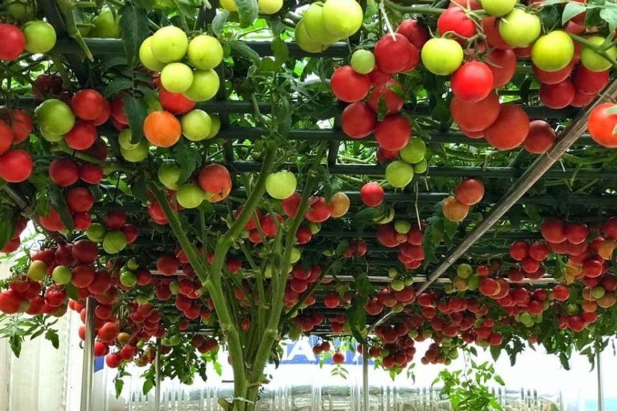 Cà chua bạch tuộc