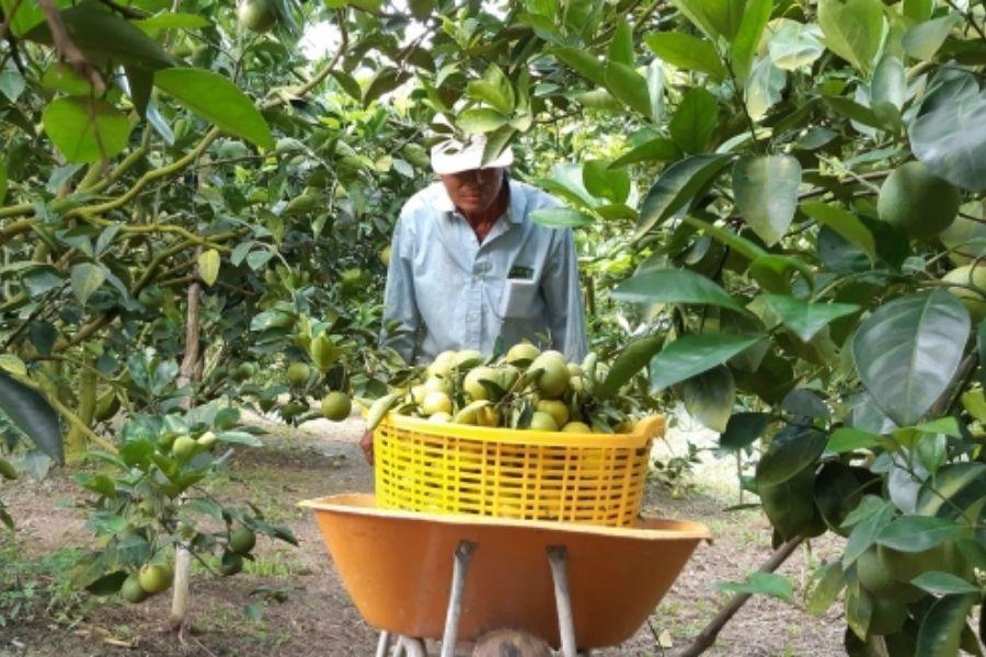Người dân thu hoạch cam sành