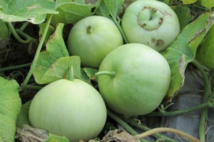 hình dáng quả dưa lê