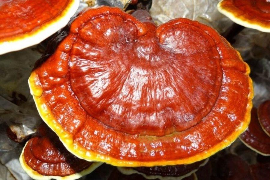 cách chọn nấm linh chi đỏ tốt
