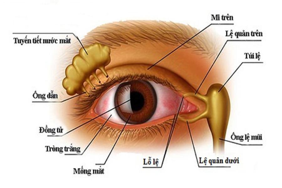 Sơ đồ cấu tạo tuyến nước mắt