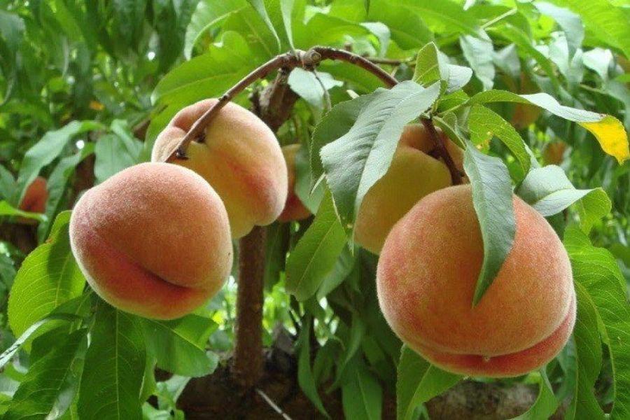 quả đào chín tự nhiên trên cây