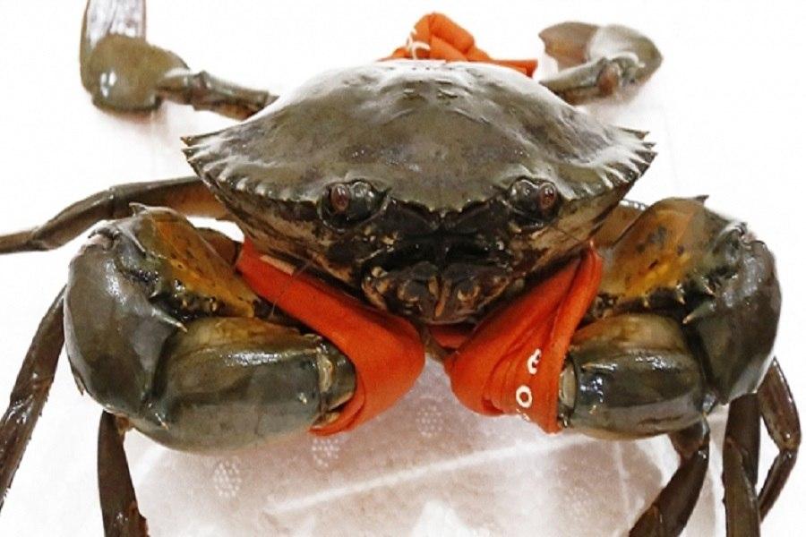 Bảo quản cua biển sống trong thùng xốp